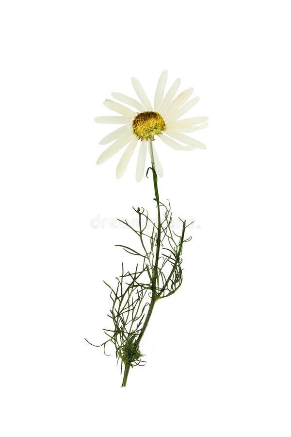 被按的和干花春黄菊(春黄菊) 查出在白色 库存图片