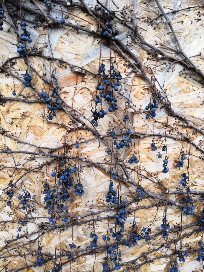被按的木头纤维板和一棵葡萄树用莓果 库存照片