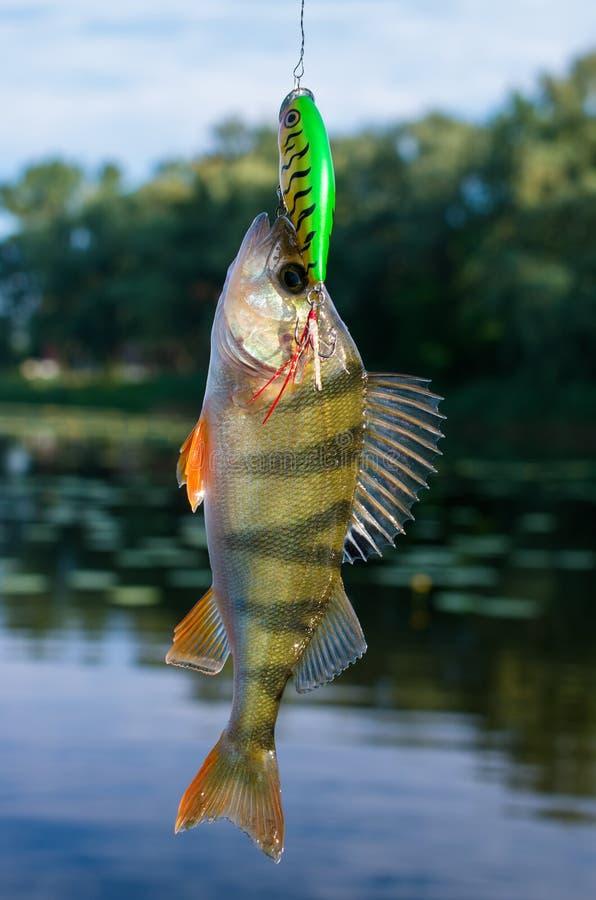 被捉住的栖息处在诱饵的河 库存照片
