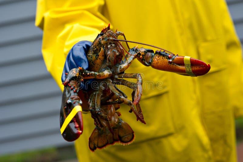 被捉住的渔夫新近地他的龙虾缅因 免版税库存照片