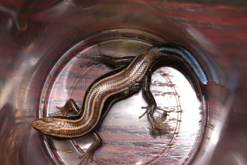 被捉住的蜥蜴 免版税库存图片