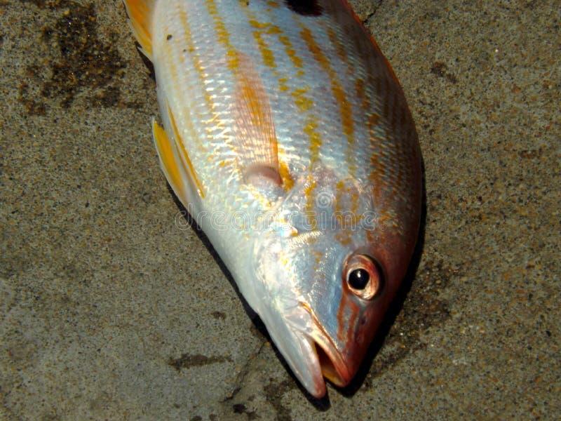 被捉住的鱼新近地 库存图片