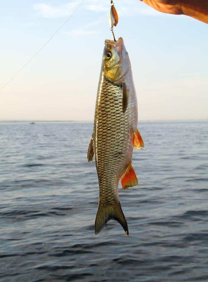 被捉住的鱼 河淡水鳔形鱼 钓鱼转动的 库存照片