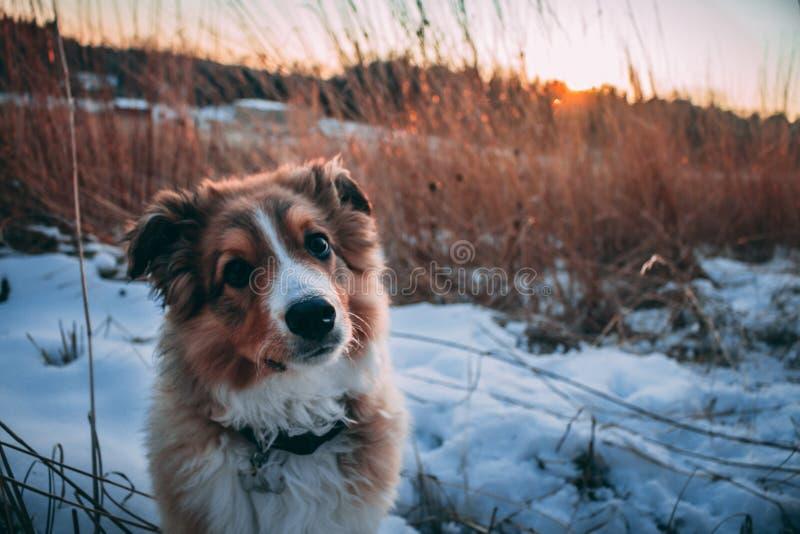 被掀动的聪明,在雪的小狗面孔! 免版税图库摄影