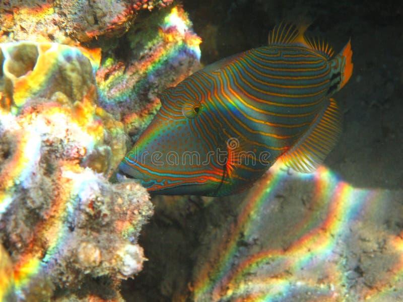 被排行的橙色引金鱼 库存图片