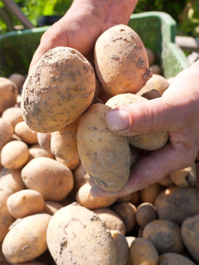 被收获的土豆 免版税图库摄影