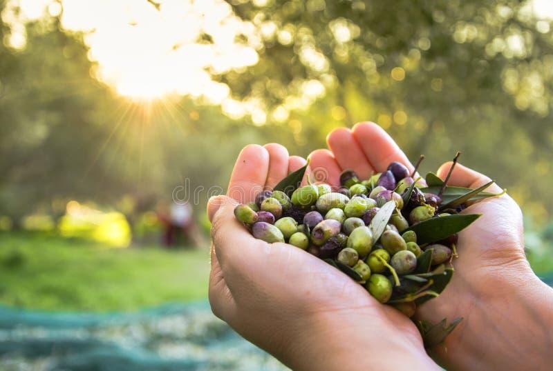 被收获的新鲜的橄榄 库存图片
