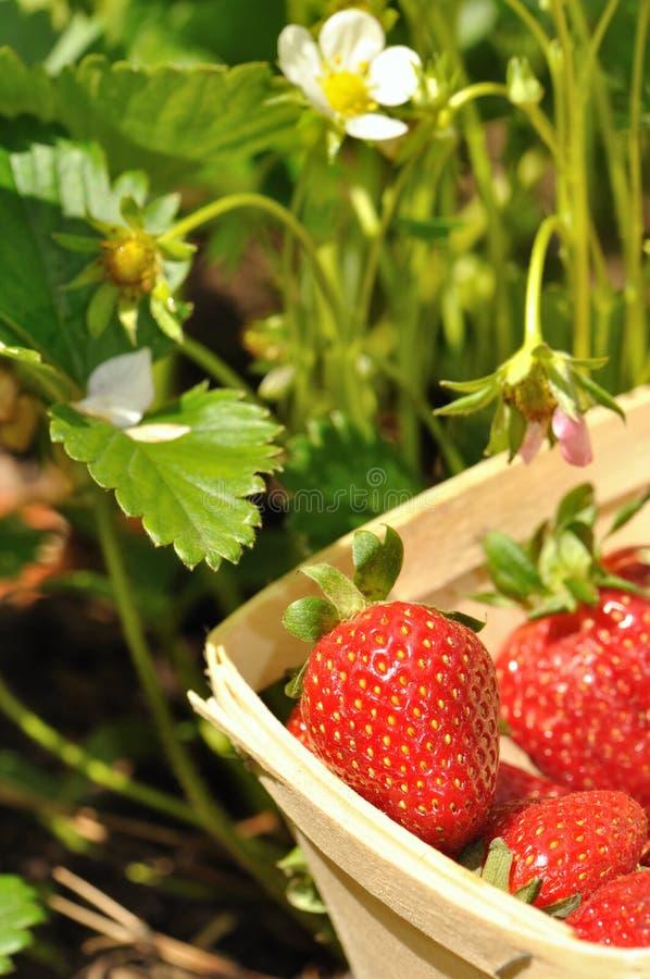 被收获的草莓 库存图片