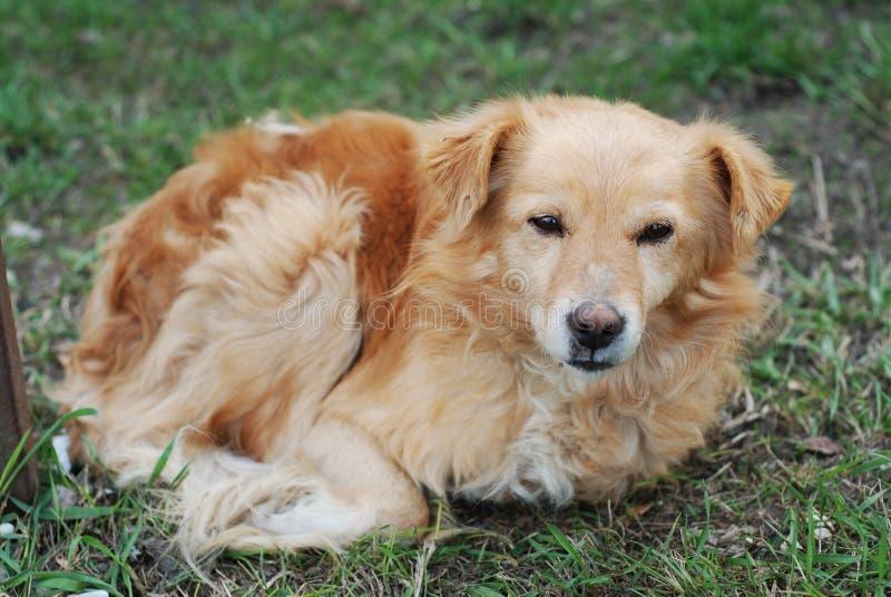 被放弃的无家可归的橙色狗小狗哀伤偏僻躺下在绿草 免版税库存照片