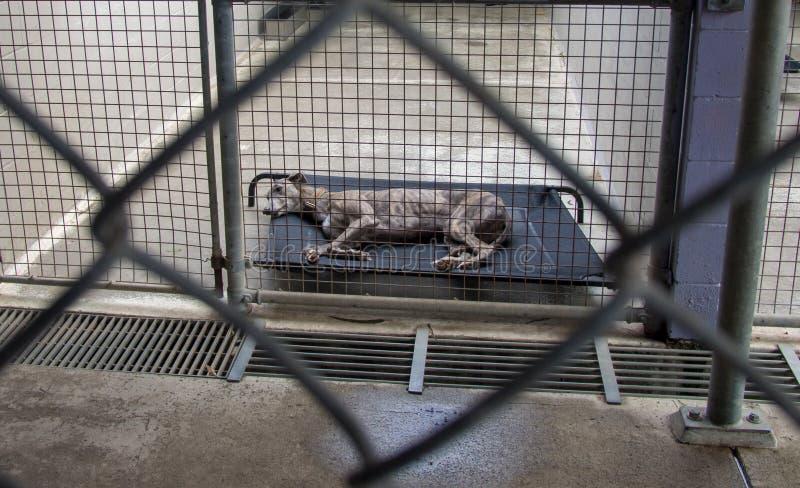 被放弃的无家可归的灵狮风雨棚狗关在监牢里在磅的 免版税库存图片