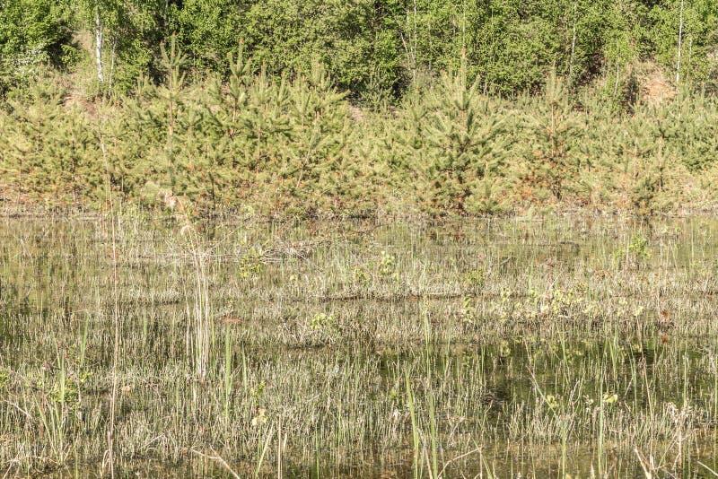 被放弃的老森林池塘、干冷杉和芦苇 免版税库存图片