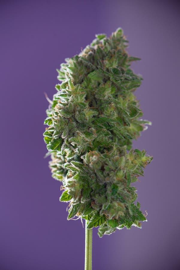被整理的大麻可乐& x28; mangolope大麻strain& x29;在p 图库摄影