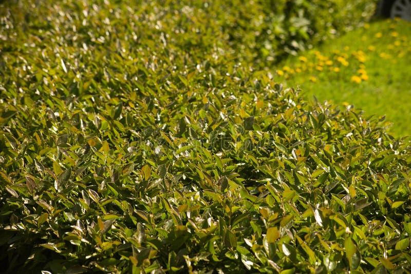 被整理的绿色树篱是接近的 图库摄影