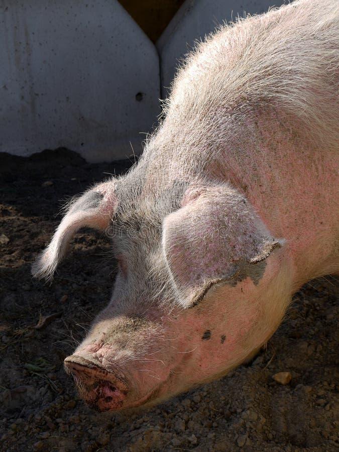 被日光照射了农厂的猪 图库摄影
