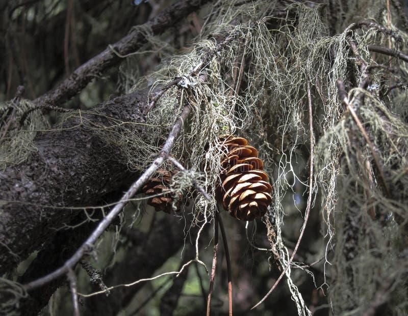 被日光照射了杉木锥体在一个黑暗的森林里 图库摄影