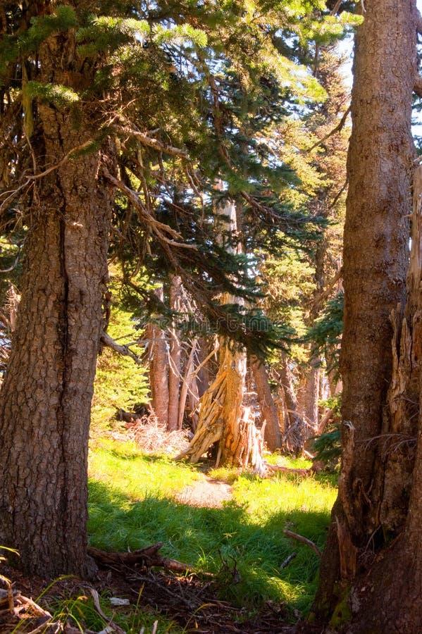 被日光照射了树在森林里 免版税库存照片