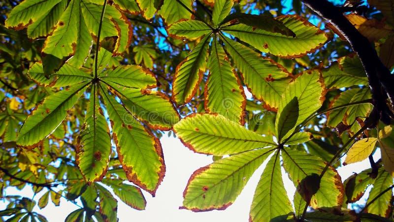 被日光照射了栗子叶子 免版税库存照片