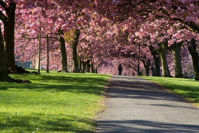 被日光照射了桃红色和白色英国雏菊 免版税图库摄影