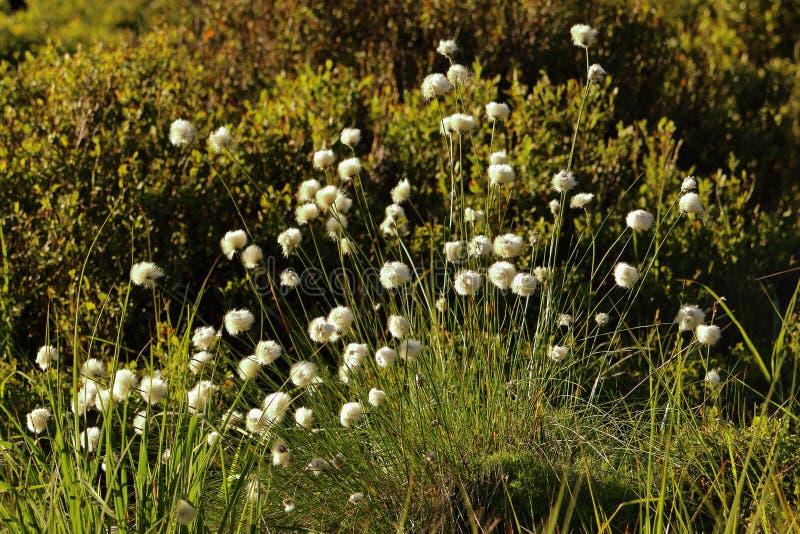 被日光照射了棉花草生长在被上升的沼泽的,萨克森Anhalt,德国 库存图片
