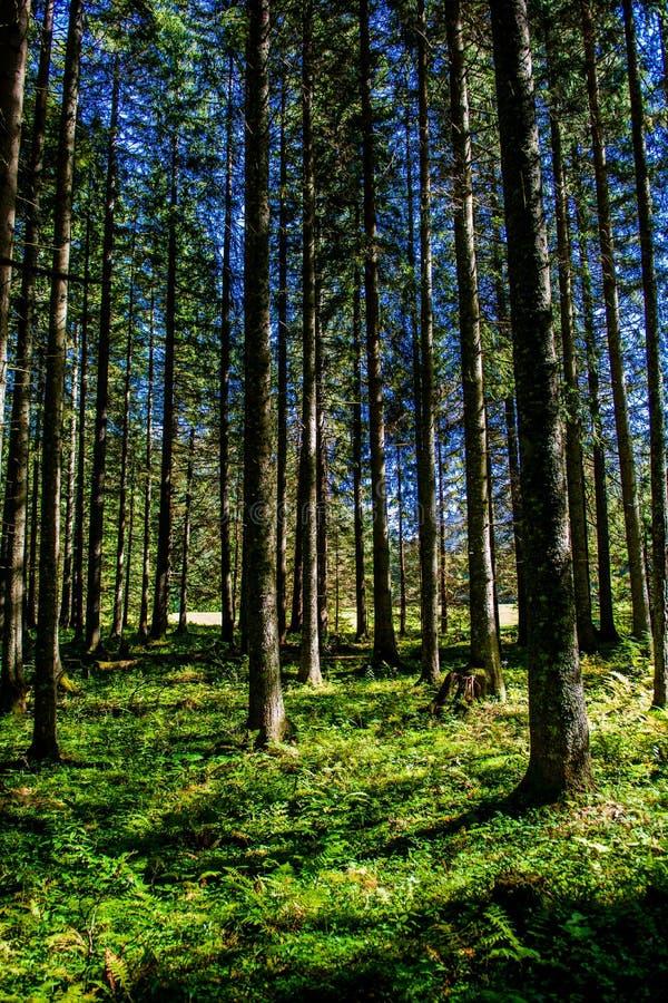 被日光照射了森林在奥地利 库存图片