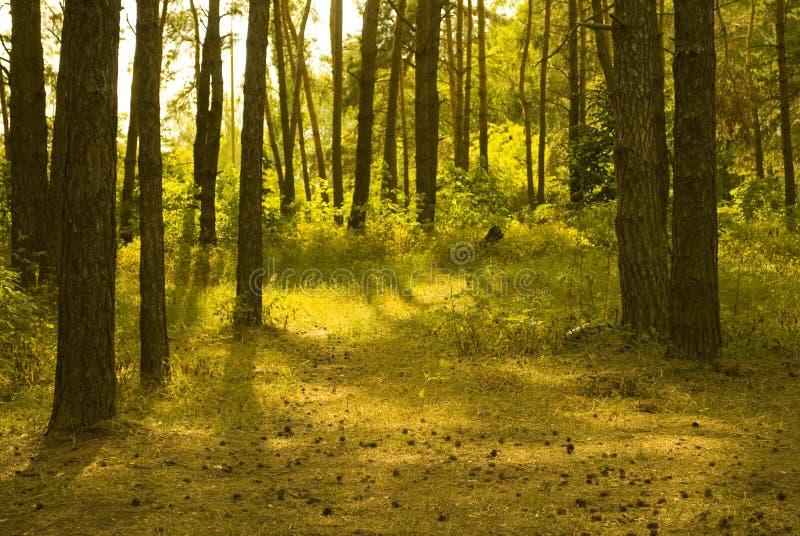 被日光照射了森林的杉木 免版税库存图片