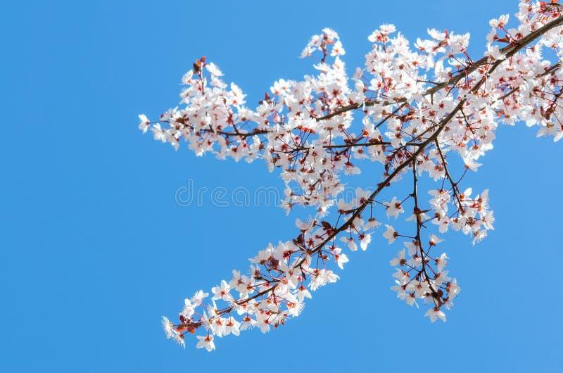 被日光照射了樱桃树春天开花的分支  免版税库存图片