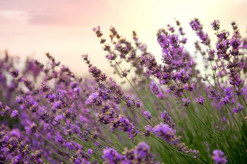 被日光照射了淡紫色花卉的背景 免版税库存照片