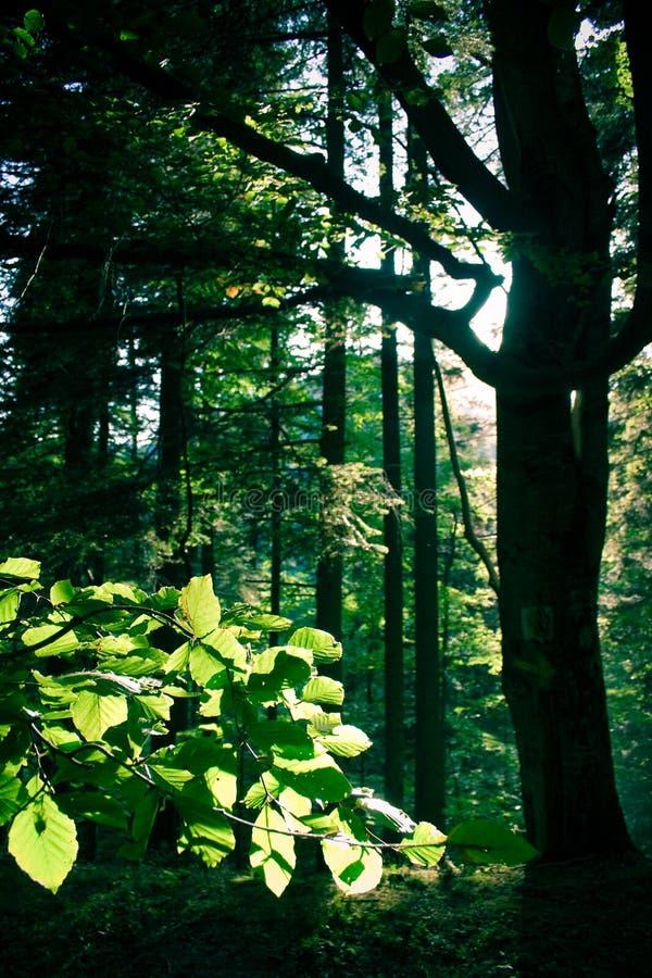 被日光照射了的森林 库存照片