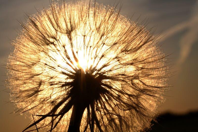 被日光照射了的草地波罗门参 免版税库存图片