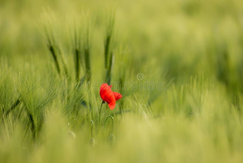 被日光照射了红色野生鸦片,射击与锋利的浅深度,在麦田的背景 与鸦片的风景 农村剧情 库存照片