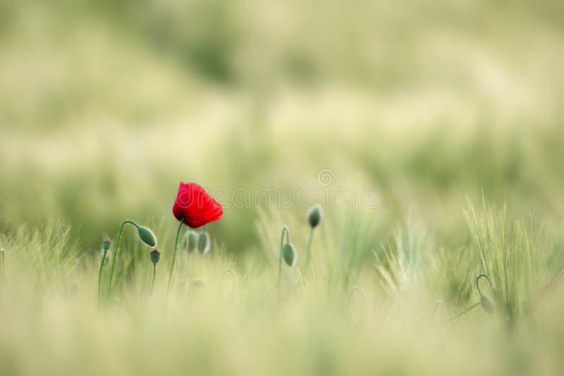 被日光照射了红色野生鸦片,射击与锋利的浅深度,在麦田的背景 与鸦片的风景 农村剧情 免版税库存照片