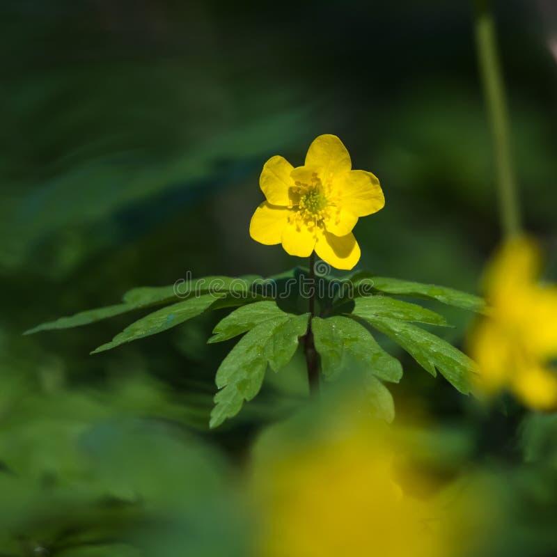 被日光照射了美丽的开花黄色白头翁 免版税库存照片