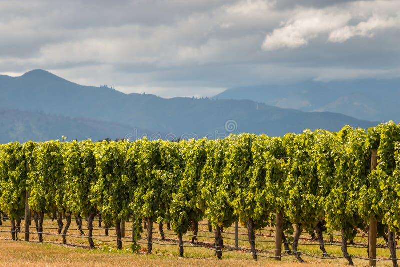 被日光照射了葡萄树行在葡萄园里 免版税图库摄影
