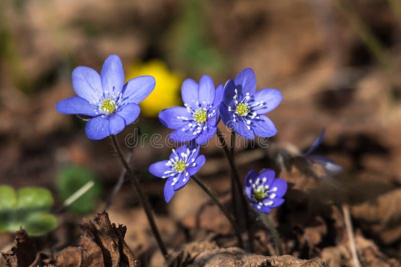 被日光照射了蓝色Hepaticas 库存图片