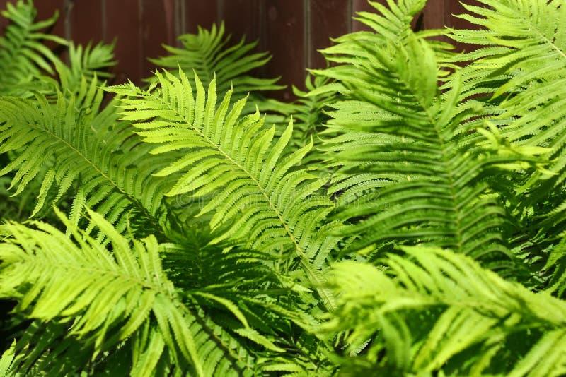 被日光照射了蕨茂盛植物,植物的背景特写镜头  免版税图库摄影