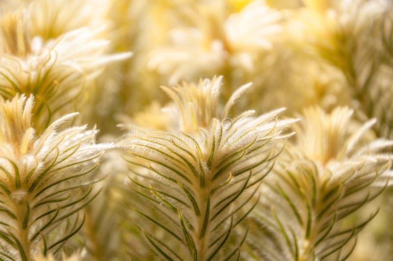被日光照射了金黄植物在春天 图库摄影