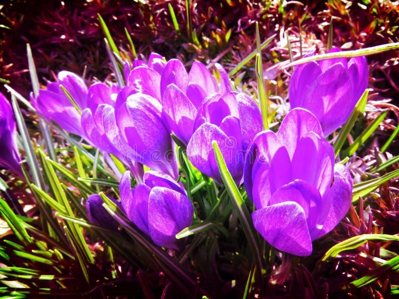 被日光照射了3月紫色番红花 免版税库存照片