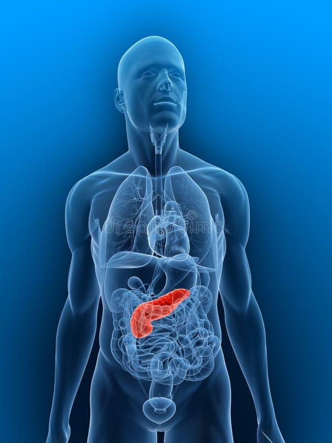 被显示的胰腺 库存例证