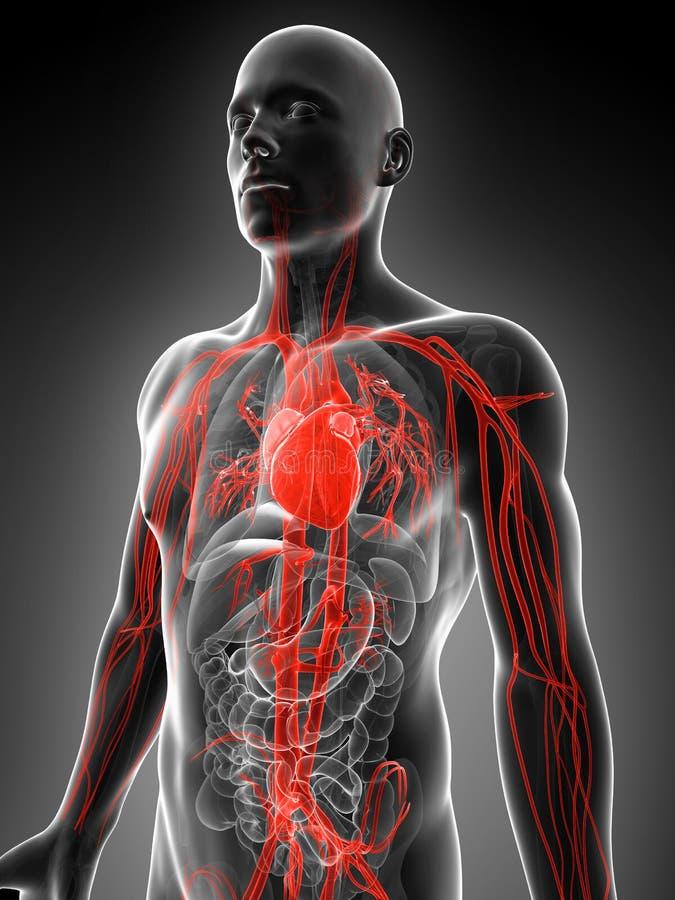 被显示的脉管系统 皇族释放例证