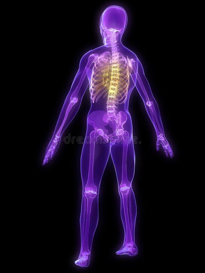 被显示的脊椎 向量例证