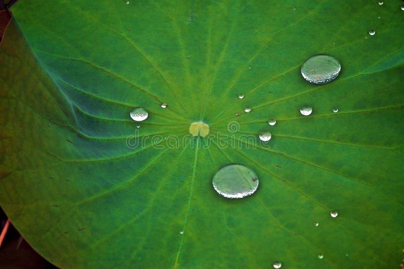 被暂停的小滴绿色叶子 库存图片