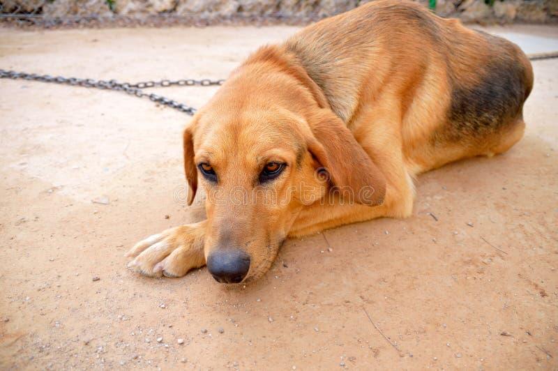 被束缚的哀伤的狗 免版税库存图片