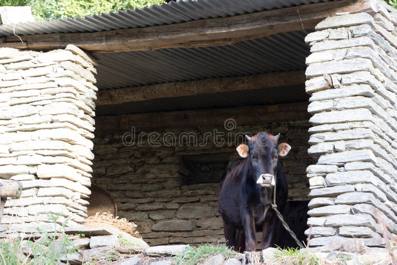 被束缚的母牛 免版税库存图片