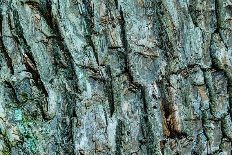 被构造的基地老橡木吠声风化了自然基体粗砺的粗砺的背景设计森林 免版税库存照片