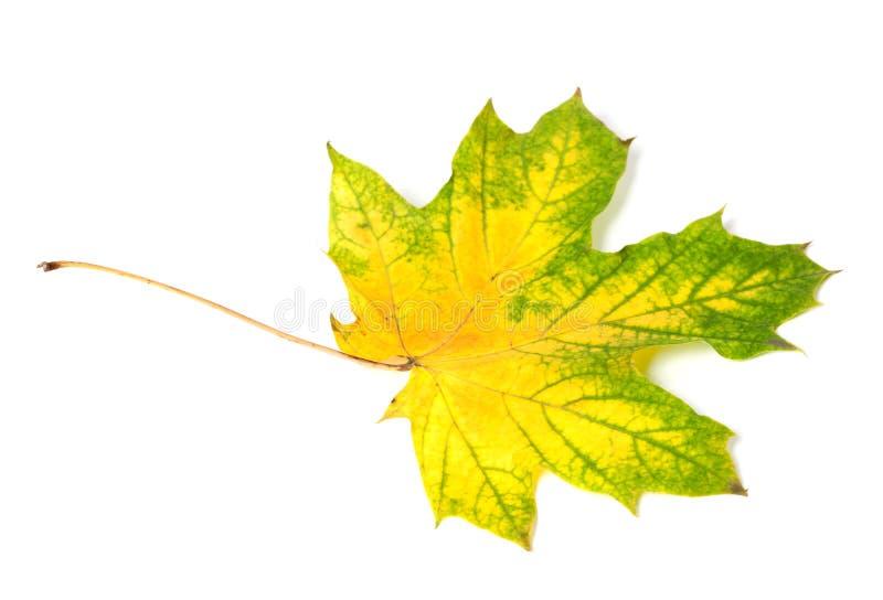 被染黄的多色秋天槭树叶子 库存照片