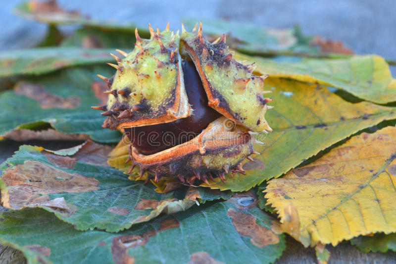 被染黄的槭树叶子和栗子 免版税库存图片