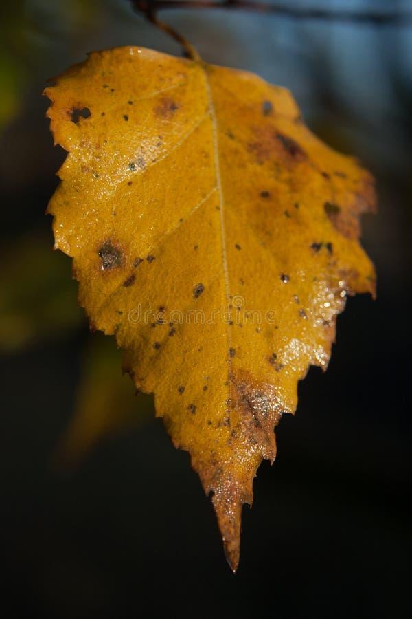 被染黄的秋天桦树叶子 库存照片
