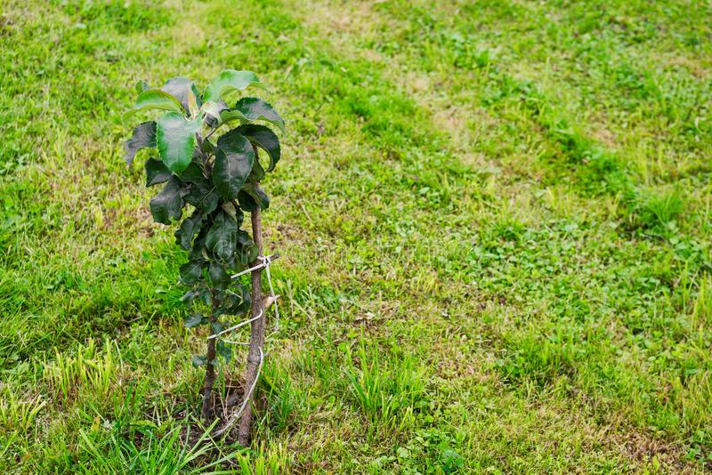 被栓的柱状苹果树 图库摄影