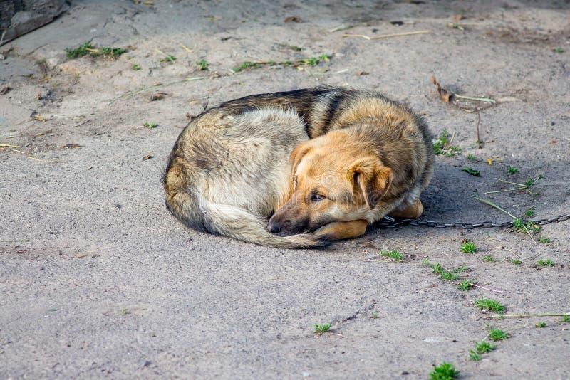 被栓的狗说谎在庭院里 在囚禁的动物是sad_ 图库摄影