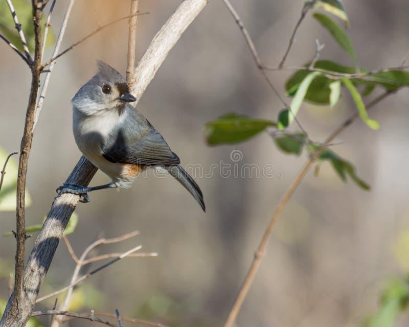 被栖息的北美山雀簇生了 图库摄影